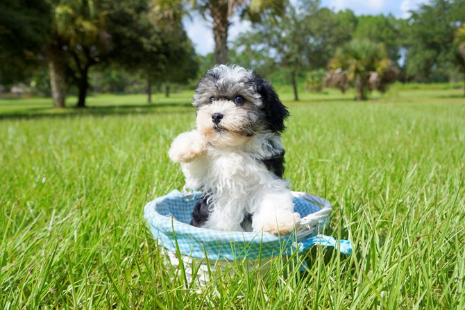 Havanese for sale! 4