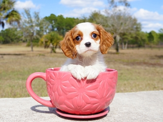 Sorry, does king charles spaniel adult for sale all clear