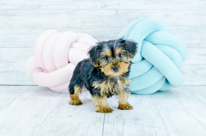 Yorkie Puppy For Sale! 4