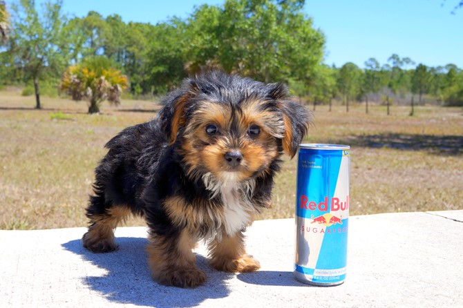 Melvin is the Yorkie for sale near St. Pete. 3