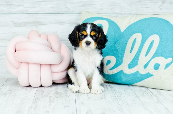 Cavalier Puppy for sale! 6