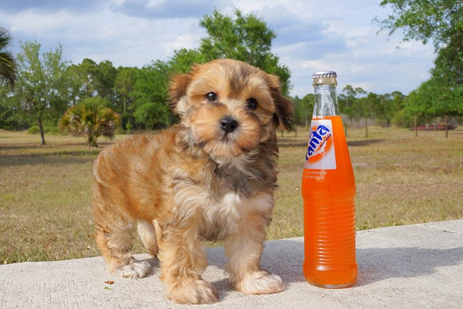 Geo is the Morkie for sale near St. Pete! 1
