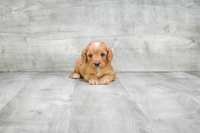 Cavapoo for sale! 3