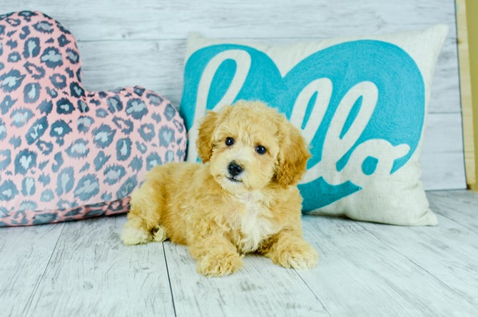 Malti-poo puppy for sale! 3