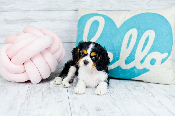 Cavalier Puppy for sale! 1