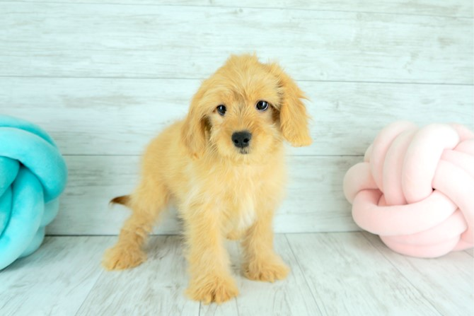Cavapoo for sale! 6