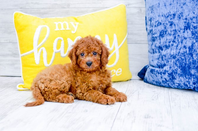 Cavapoo puppy for sale! 2