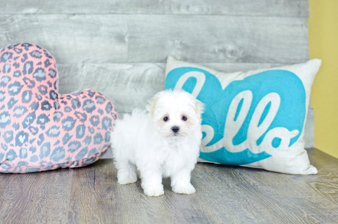 Maltese Puppy for sale! 9