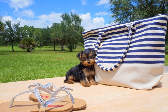Yorkie for Sale! 2