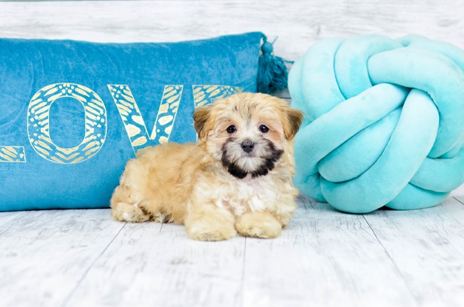 Morkie Puppy for sale! 5