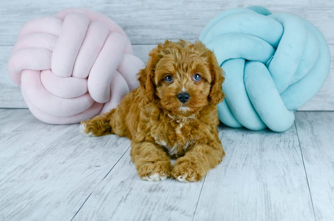 Cavapoo puppy for sale! 5