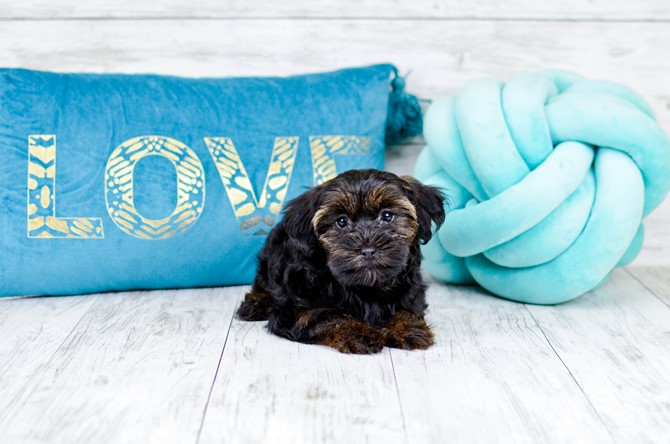 Yorkie-poo puppy for sale! 1