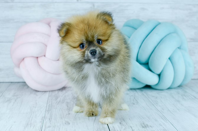 Pomeranian puppy for sale! 6