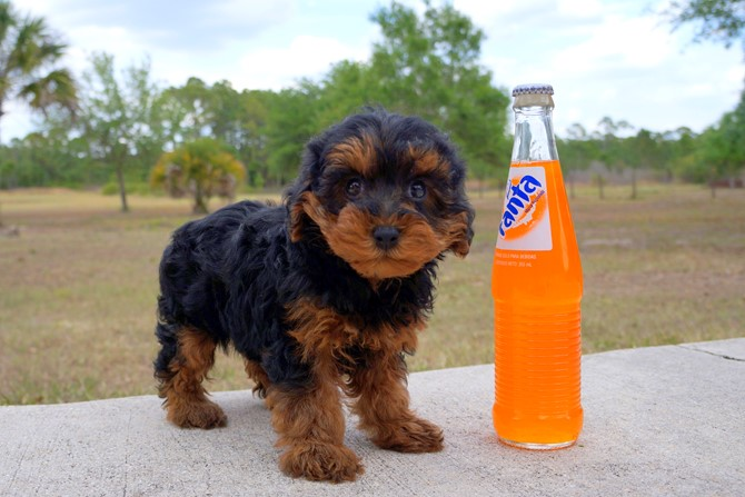 Claire is the Yorki-poo for sale in Florida! 1