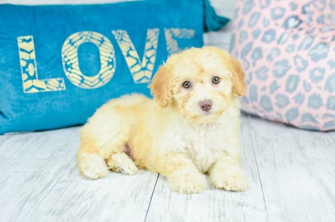 Malti-poo Puppy for Sale! 8