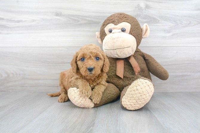 Mini-Goldendoodle for sale!  F1B 2