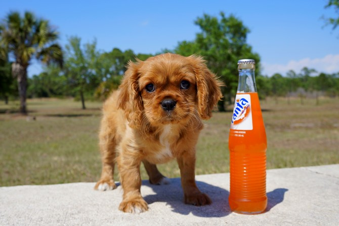 Ruby is the Cavalier for sale near St. Pete! 2