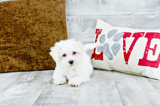Bichon Frise puppy for sale! 1