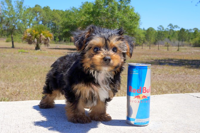 Melvin is the Yorkie for sale near St. Pete. 1