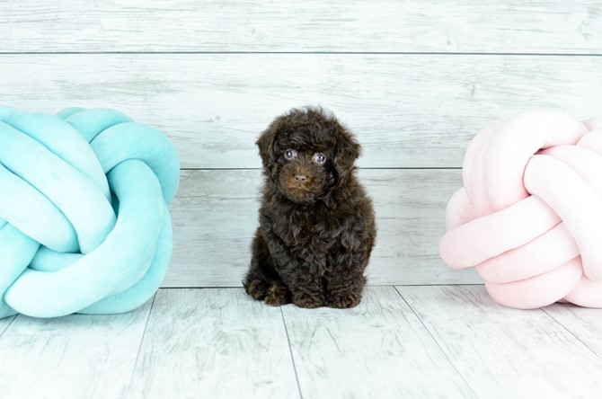 Toy Poodle for sale! 2