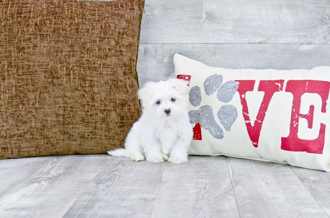 Maltese Puppy For Sale!!! 2