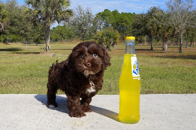 Meet Bryson the Cavapoo Puppy for sale in Florida!