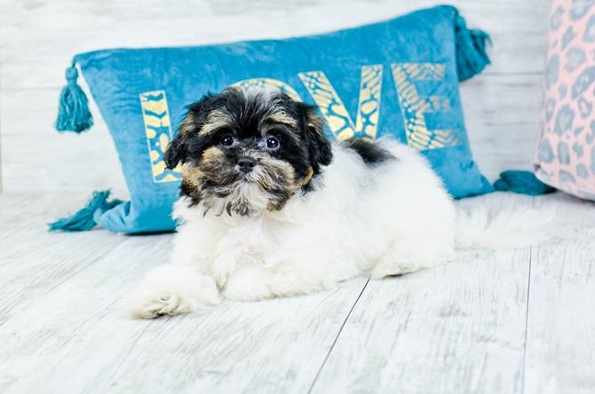 Havanese Puppy for sale! 4