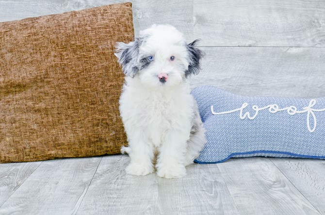F1B Mini Sheepadoodle puppy for Sale! 5