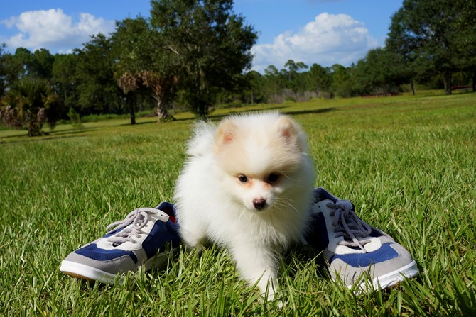 Pomeranian for sale! 3