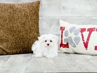 Teacup Maltese Puppies For Sale In Florida Buy Maltese Pup In