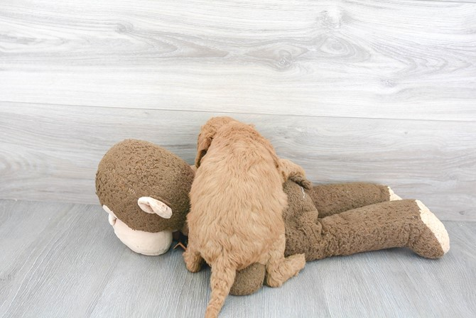 Mini-Goldendoodle for sale!  F1B 3