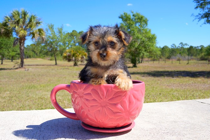 Meet Zoey the Morkie pup for sale near Orlando! 1