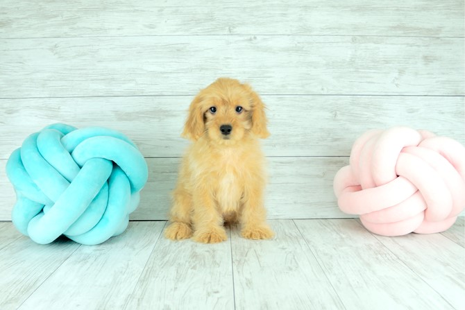 Cavapoo for sale! 7