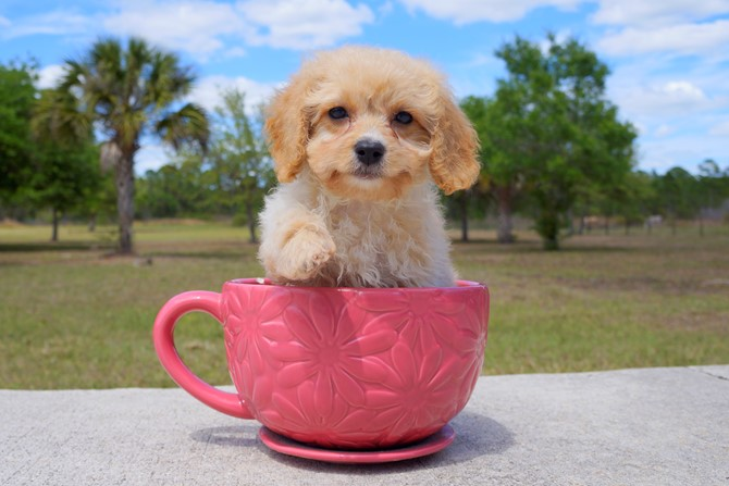 Bentley is the Cavapoo for sale in Florida! 2