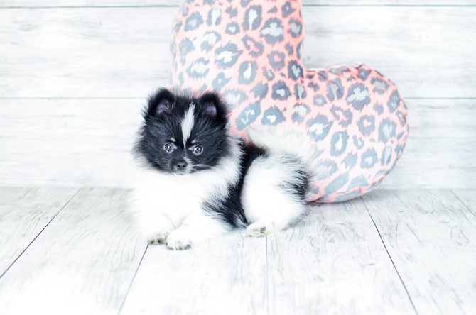 Pomeranian Puppy for sale! 5