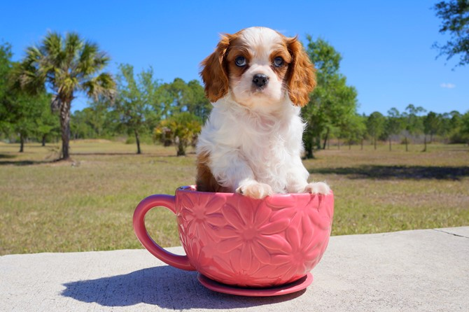 Meet Gaston the Cavalier for sale in Florida! 2