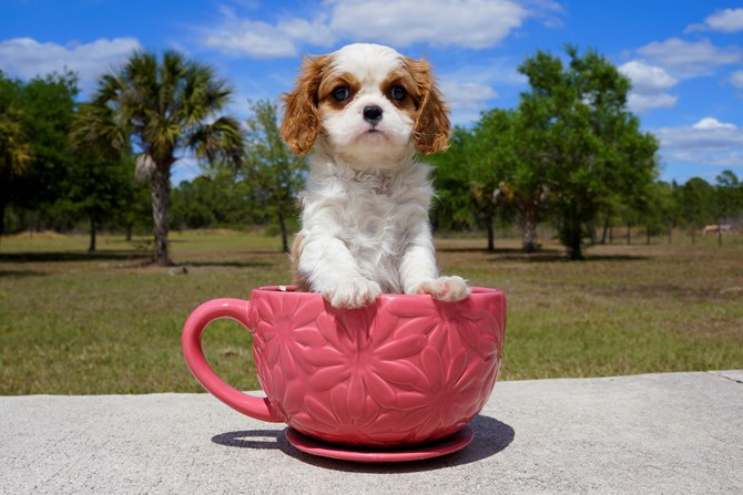 Marcus is a Cavalier for sale near Tampa! 3