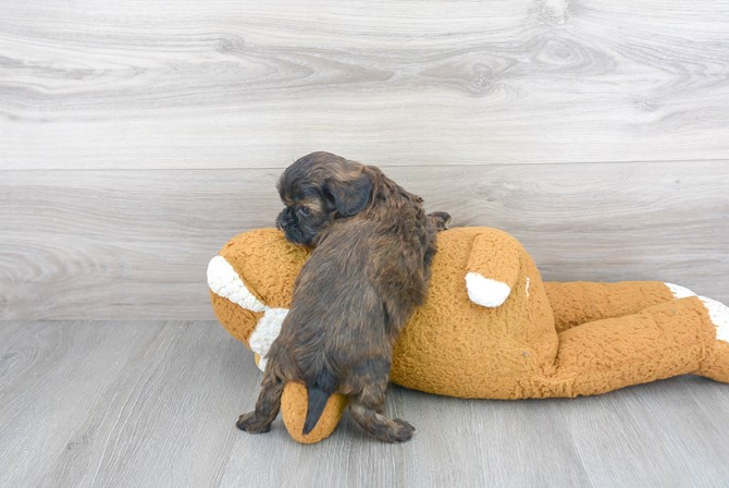 Shih-poo Puppy for sale! 3