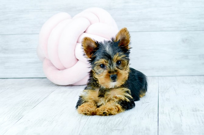 Yorkie puppy for sale! 3