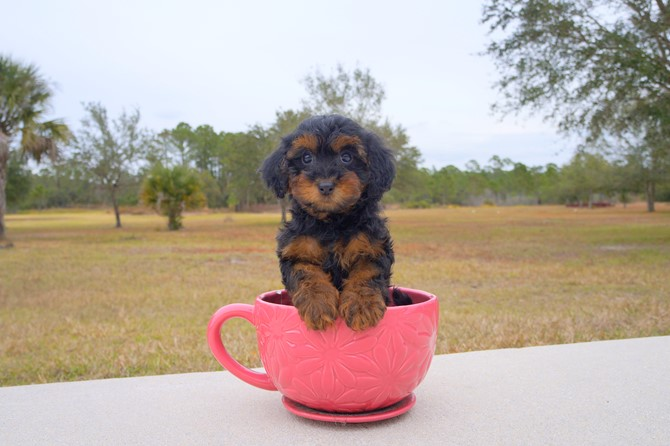 Yorkie poo Puppy for sale! 2