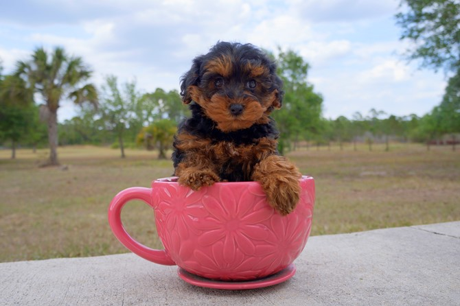 Claire is the Yorki-poo for sale in Florida! 4