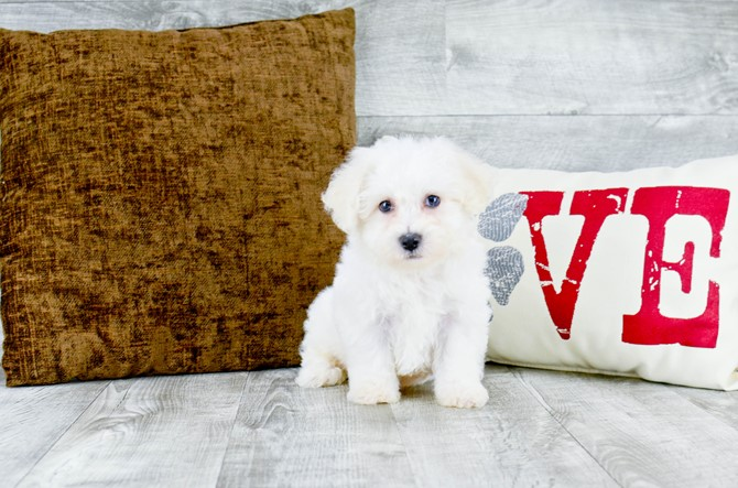 Bichon Frise puppy for sale! 4