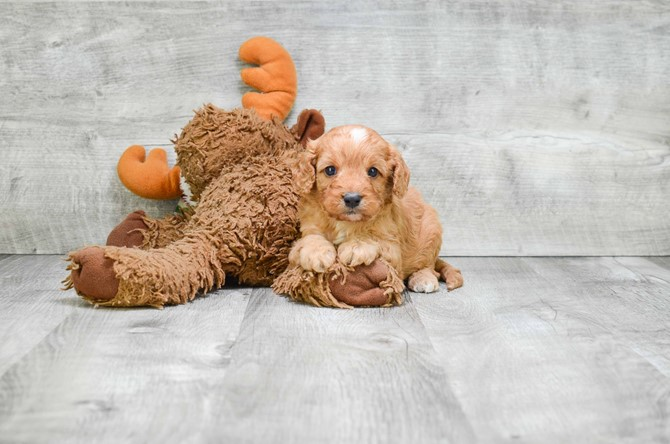Cavapoo for sale! 1