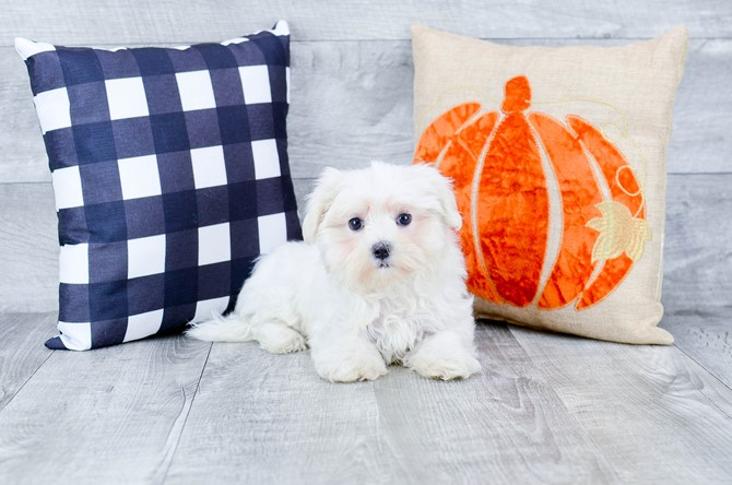 Maltese Puppy For Sale! 2