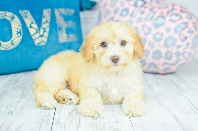 Malti-poo Puppy for Sale! 6