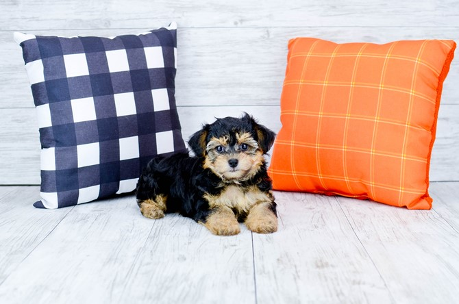 Morkie puppy for sale! 3