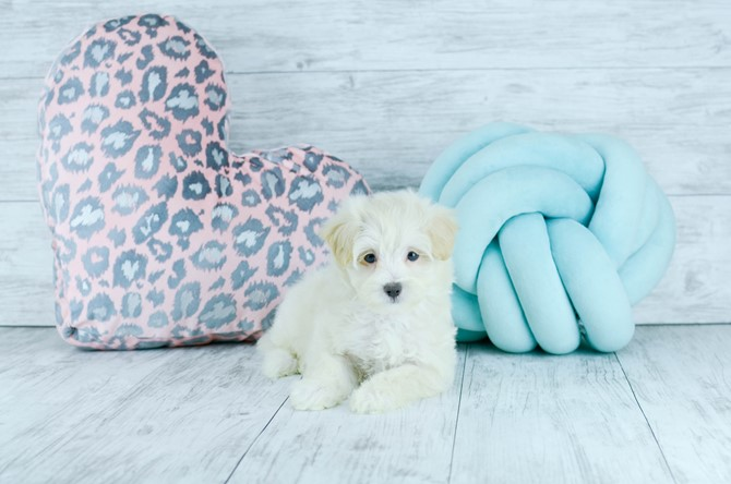 Malti-poo Puppy for Sale! 2