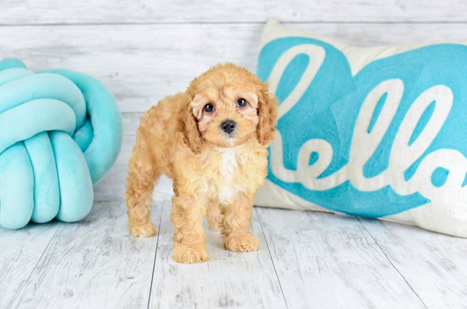 Mini-Goldendoodle for sale! 5