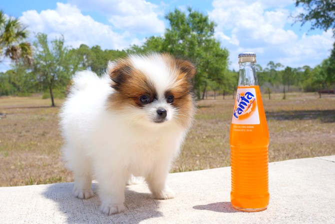 Meet Aims the Pomeranian Pup for sale in Florida! 1