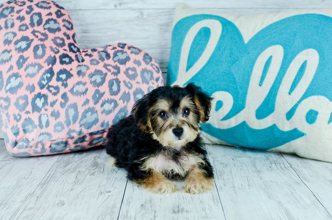 Morkie Puppy for sale! 2